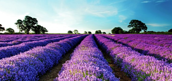 Escape in a sea of Lavender